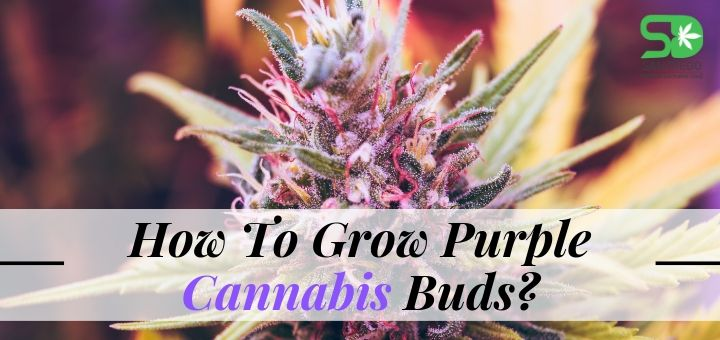 Purple is The New Green: How To Grow Purple Cannabis Buds?